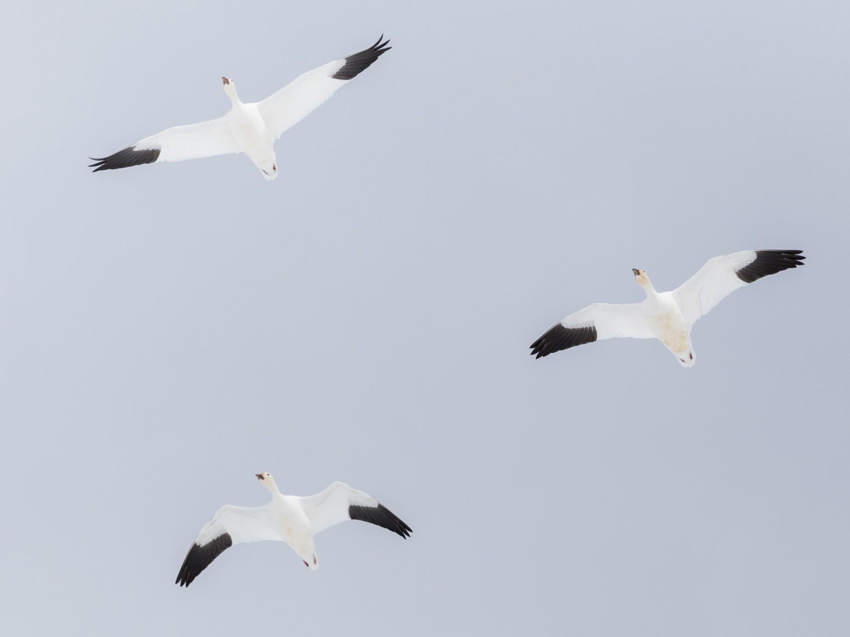 Snow Goose - Darren Clark