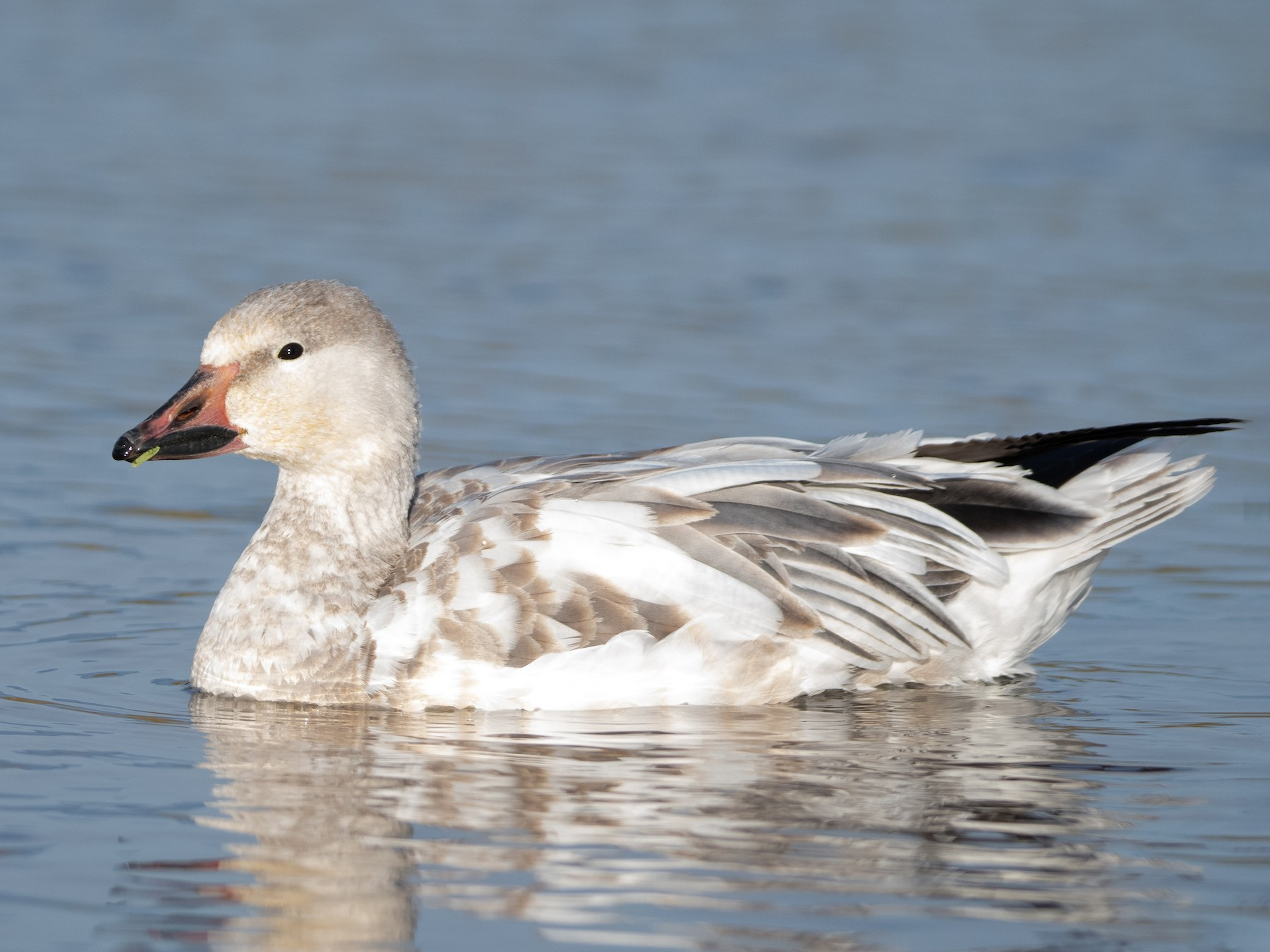 Snow Goose - Levi  Plummer