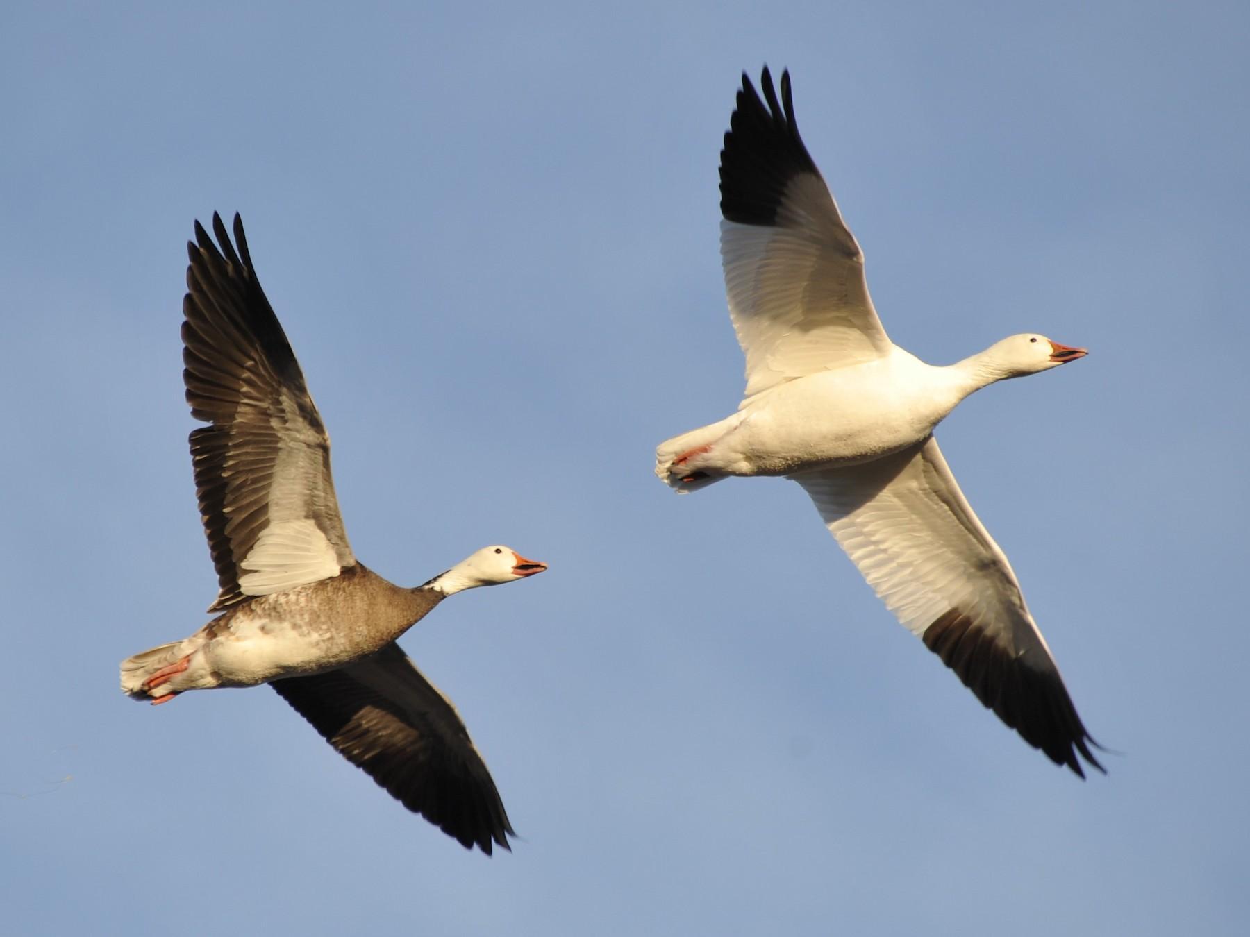 Snow Goose - Martina Nordstrand
