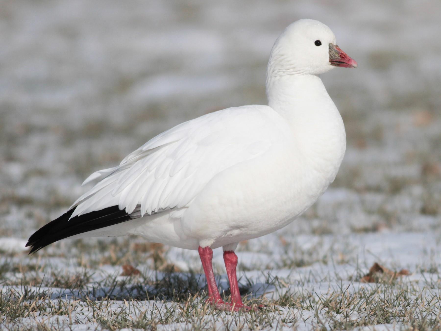 Ross's Goose - Marshall Iliff