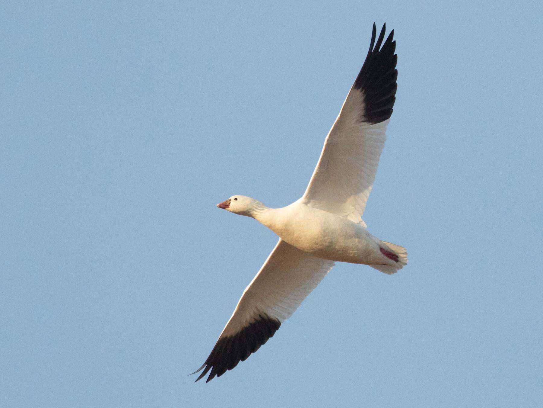 Ross's Goose - Ronan Nicholson