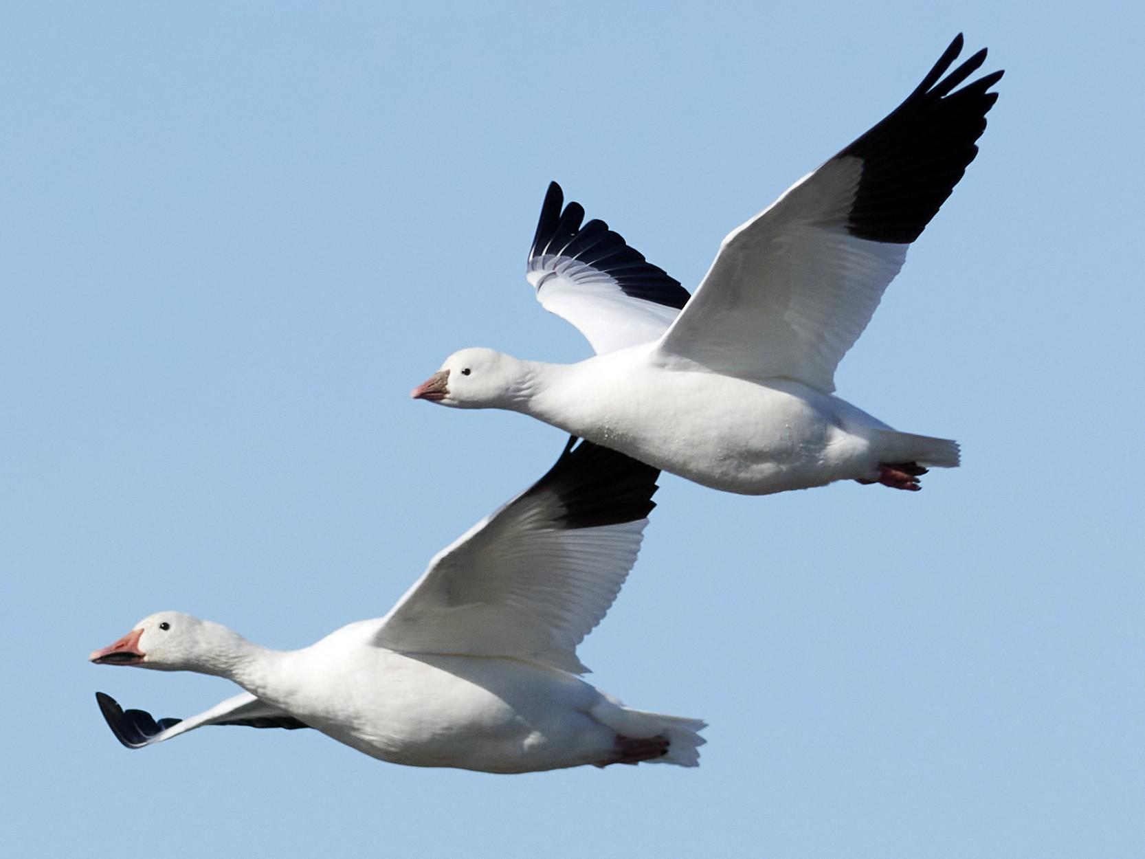 Ross's Goose - Patrice St-Pierre