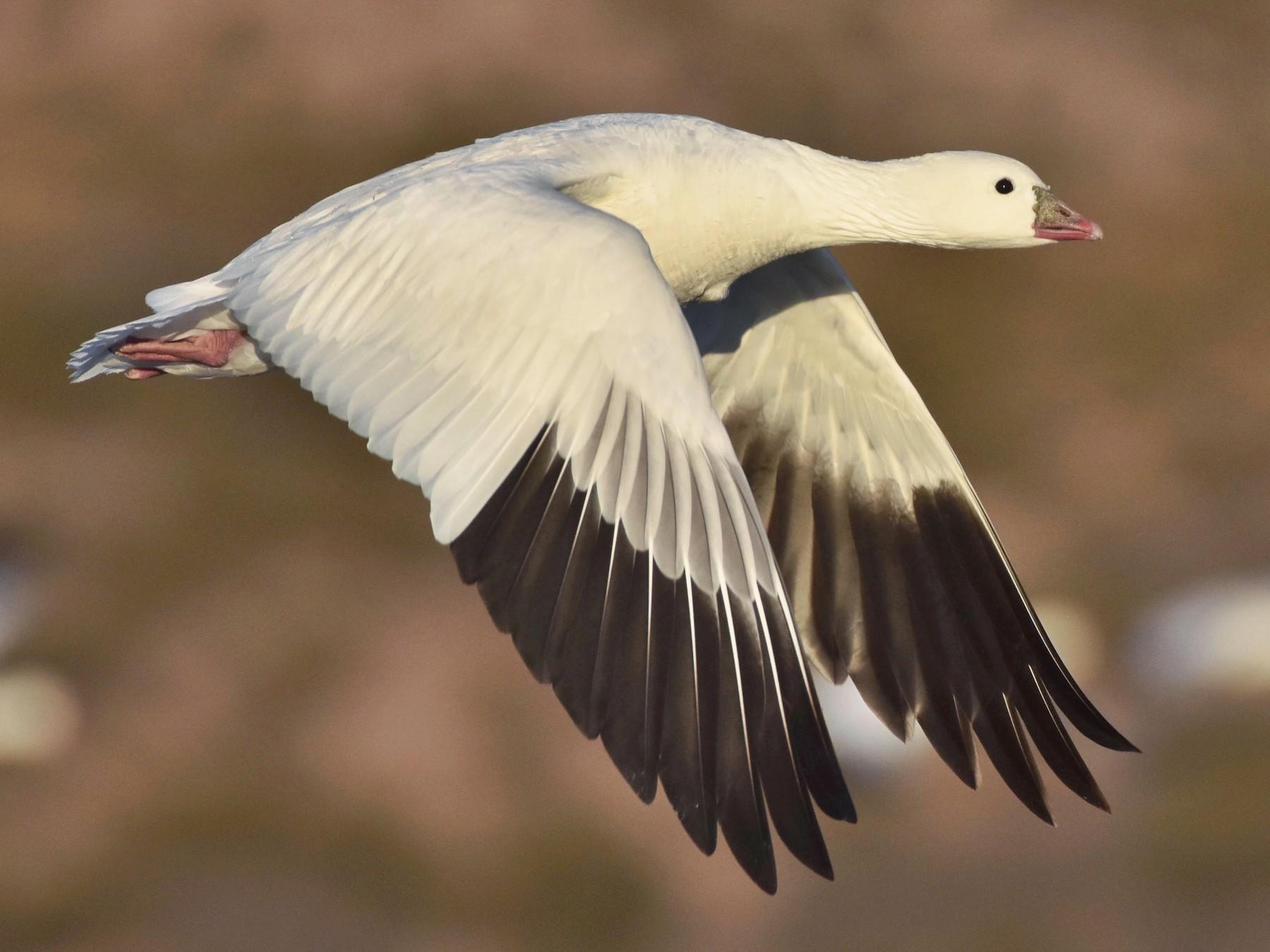 Ross's Goose - Marky Mutchler