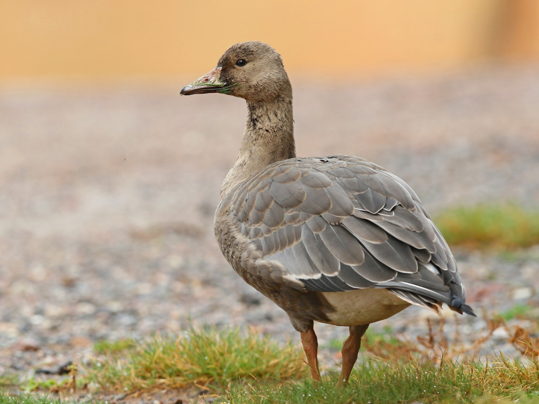 Greater White-fronted Goose - Volker Hesse