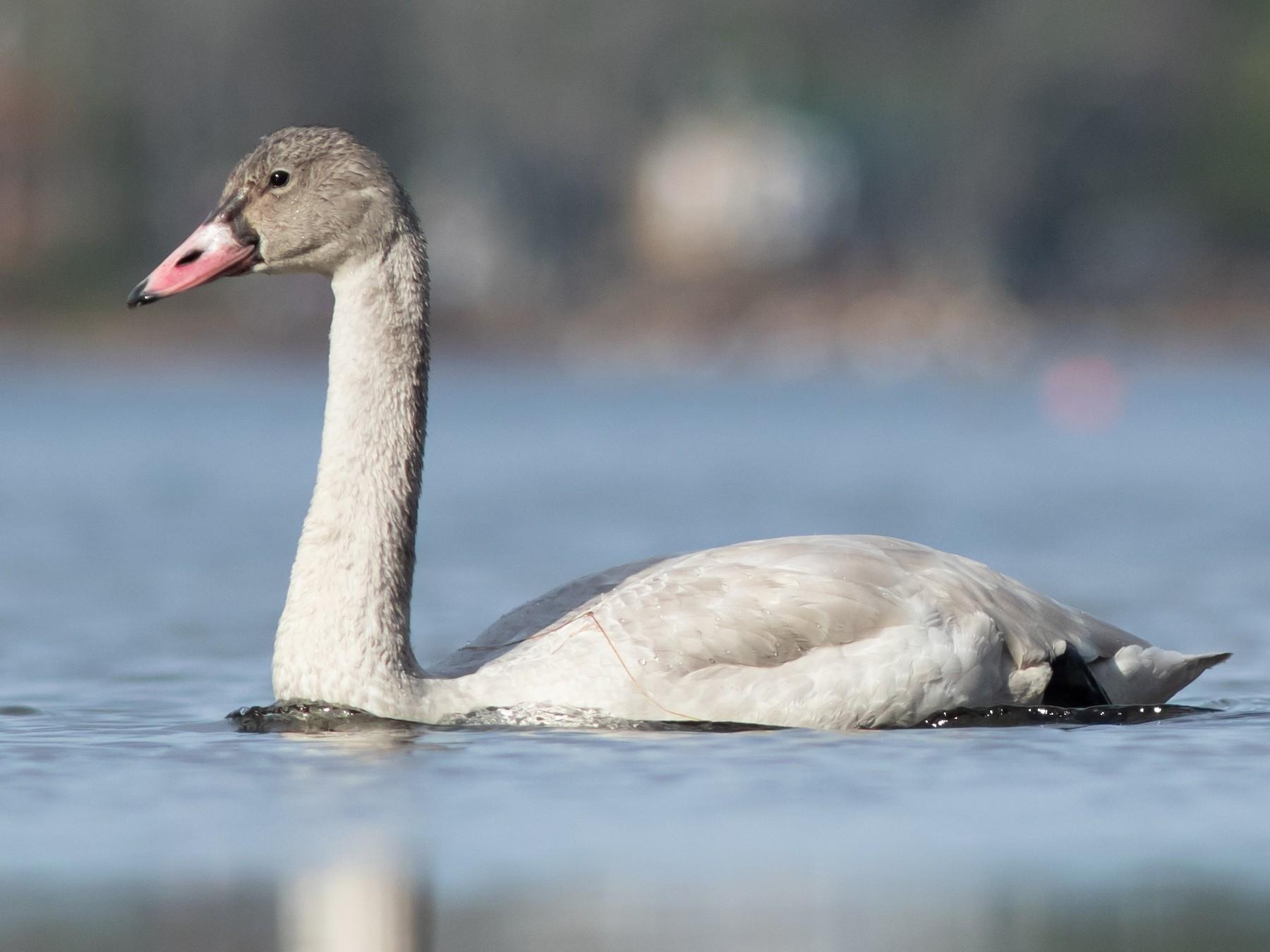 Tundra Swan - Doug Hitchcox