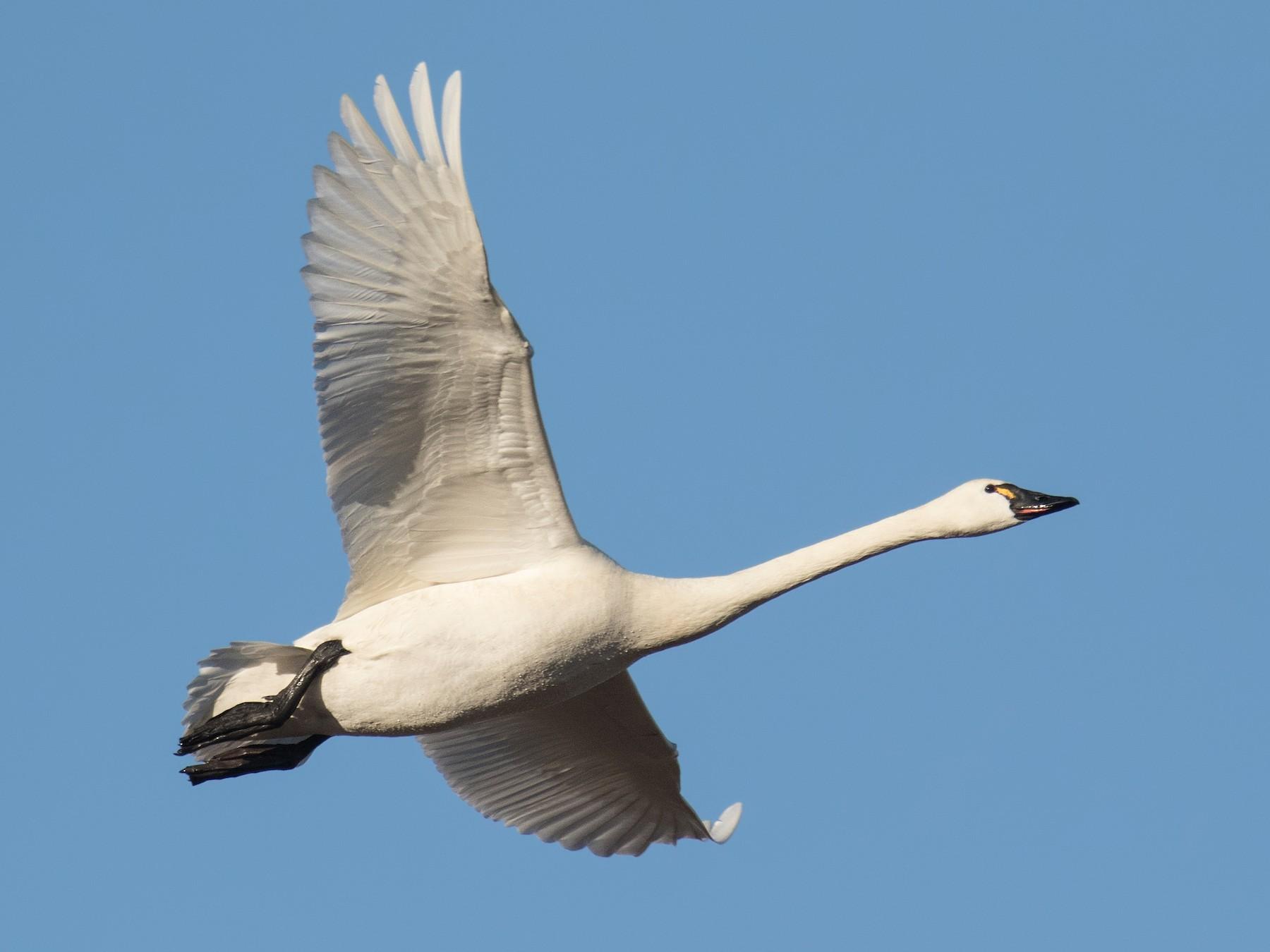 Tundra Swan - Darlene Friedman