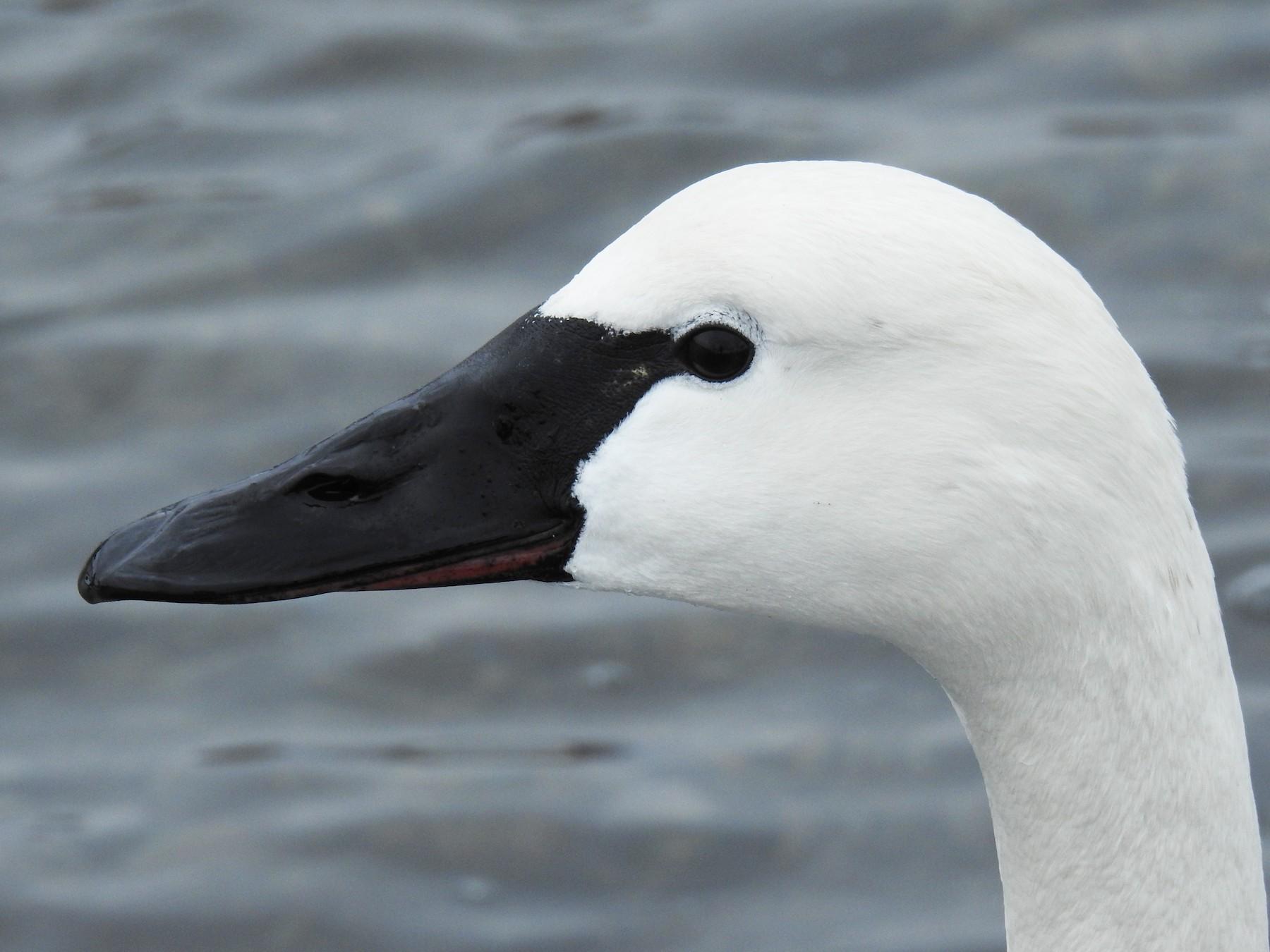 Tundra Swan - Jody  Wells