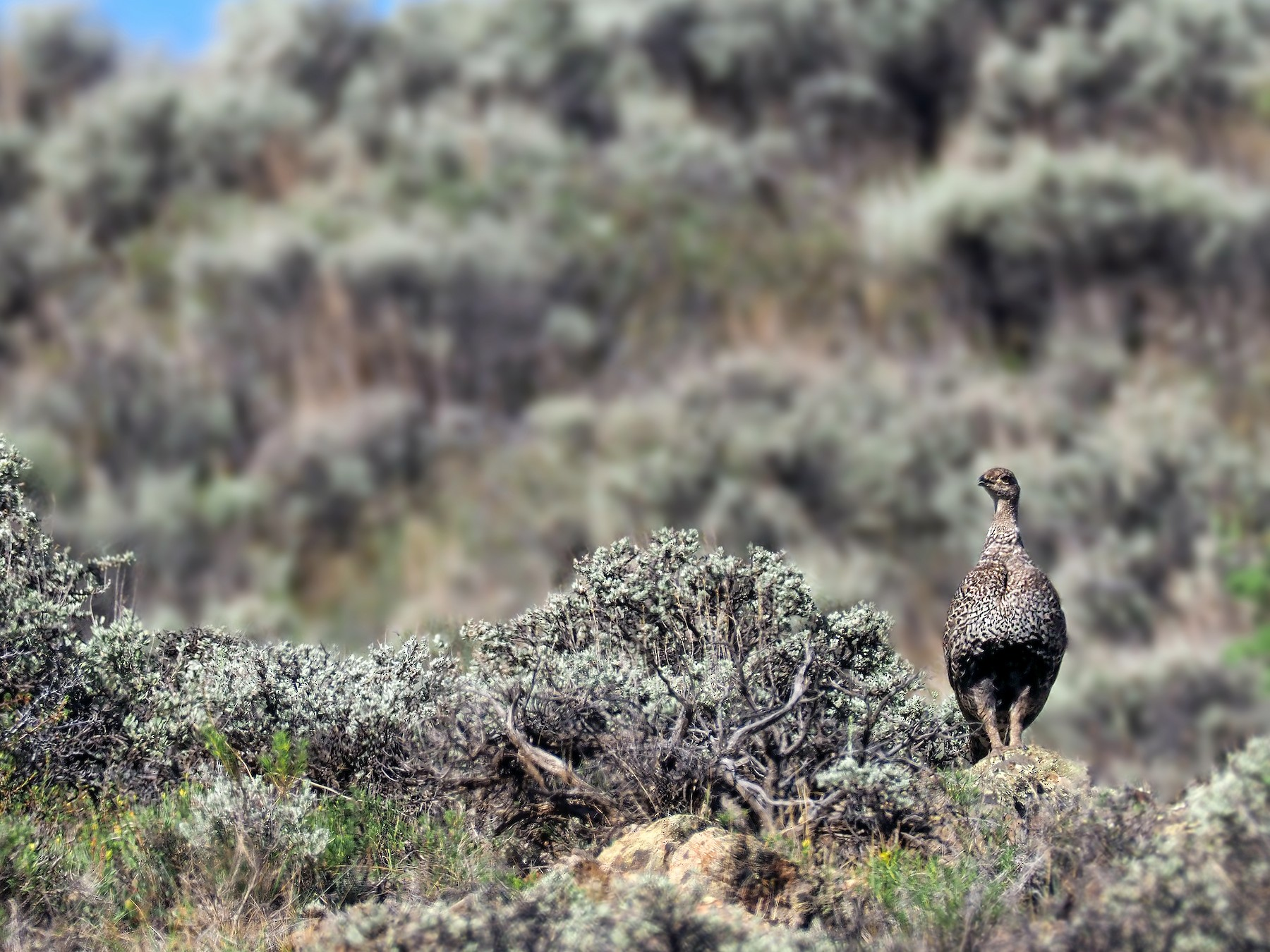 Gunnison Sage-Grouse - Andrew Spencer