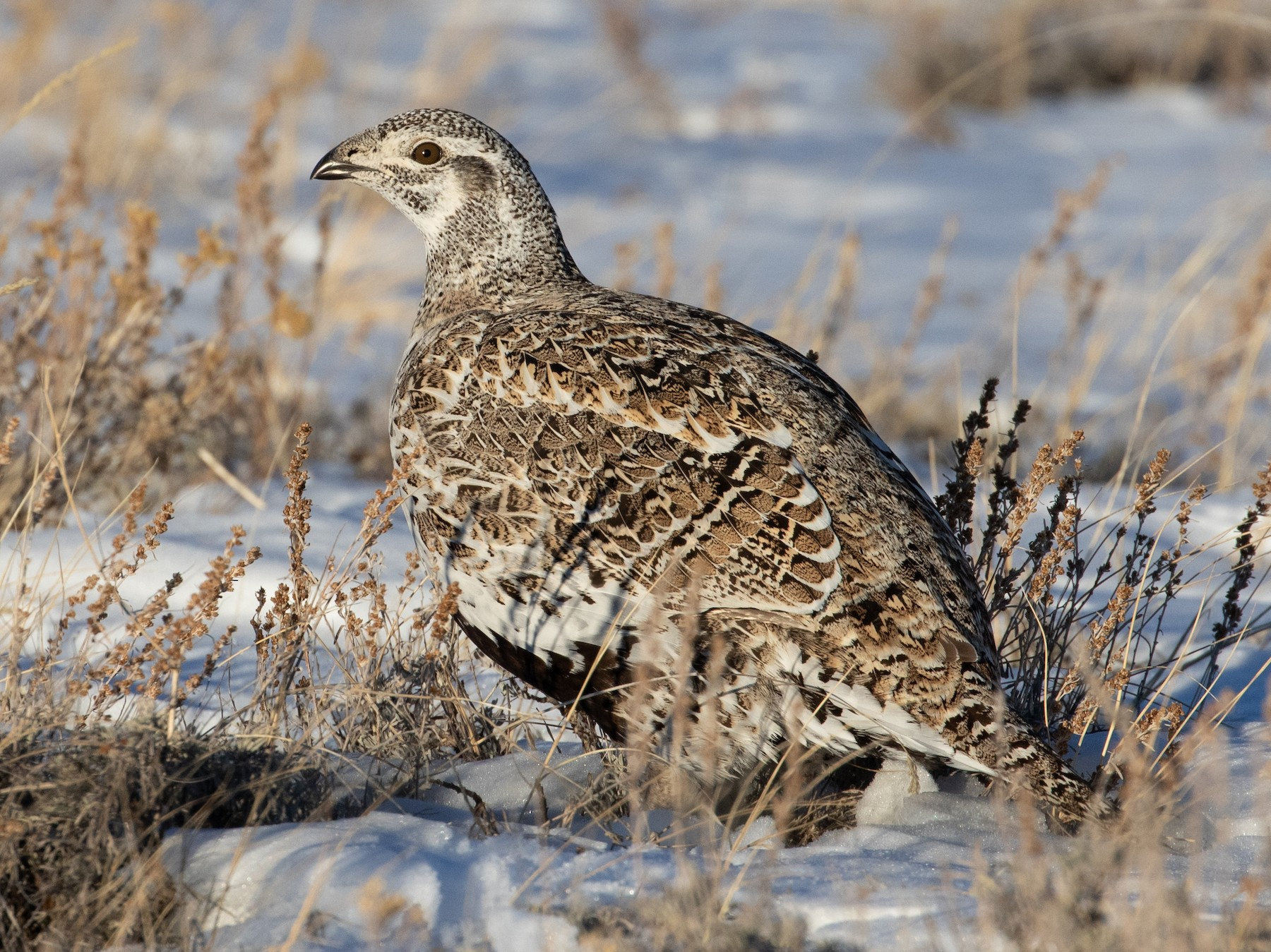 Greater Sage-Grouse - Marcel Such