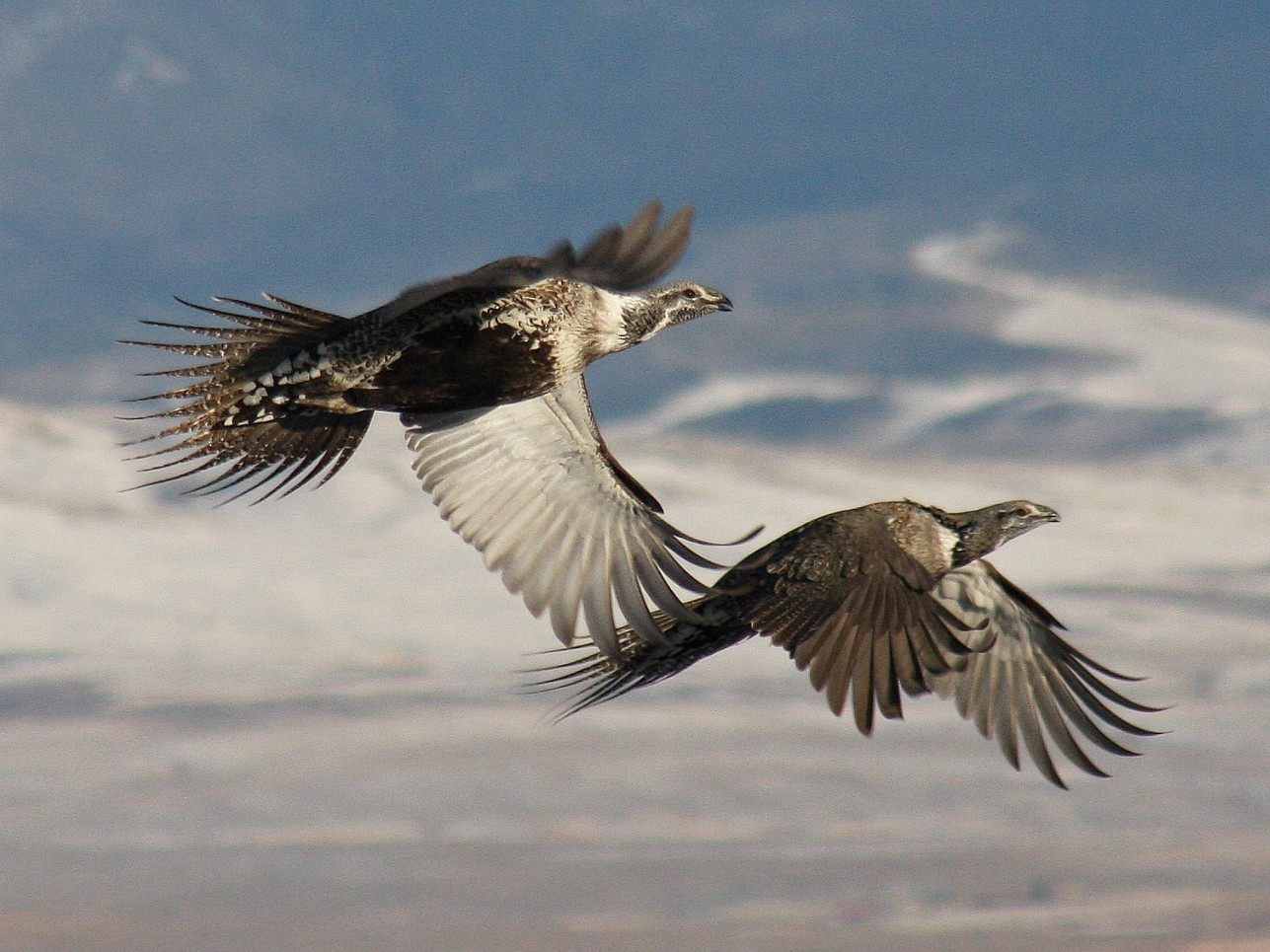 Greater Sage-Grouse - August Hazel