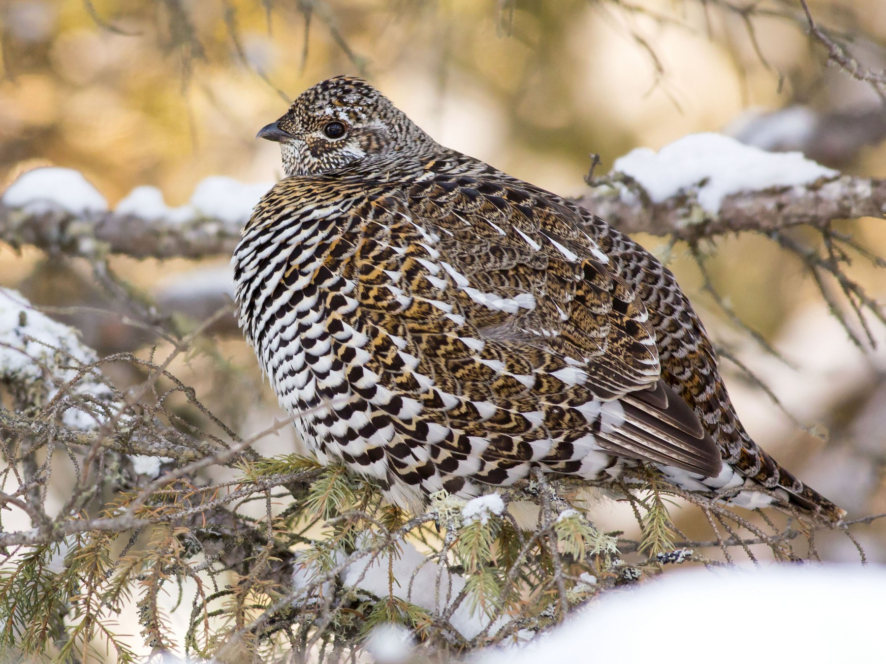 Spruce Grouse - Alex Eberts