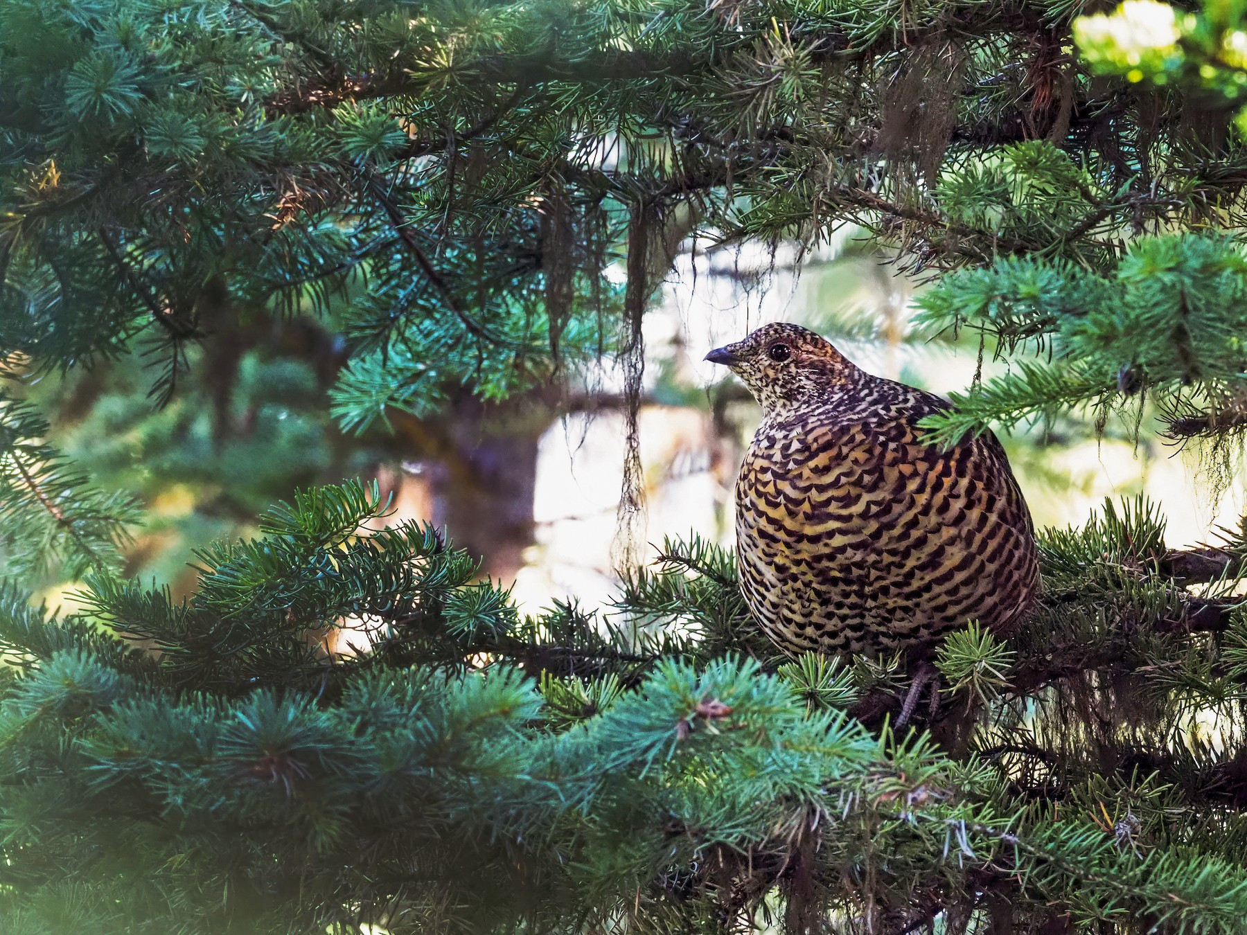 Spruce Grouse - Andrew Spencer