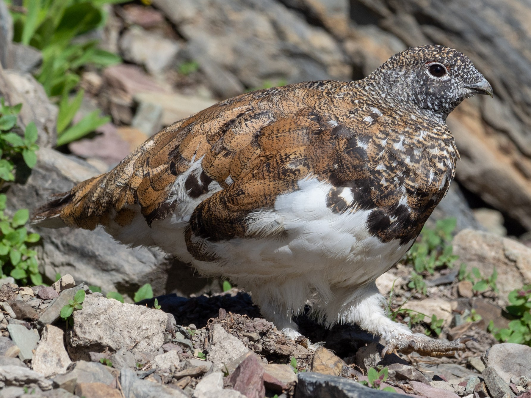 White-tailed Ptarmigan - Forest Jarvis