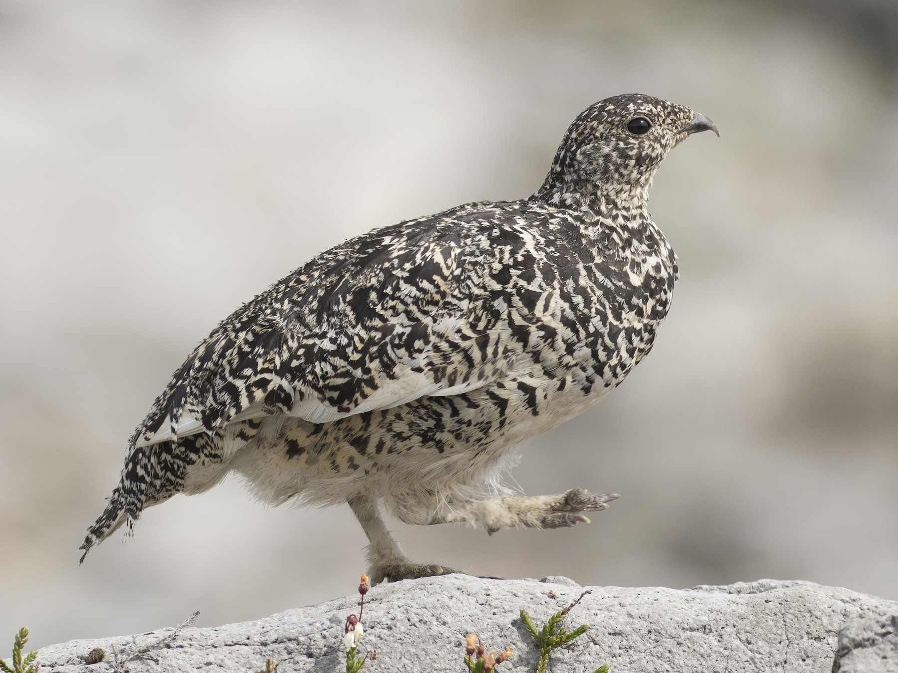 White-tailed Ptarmigan - Eric Ellingson
