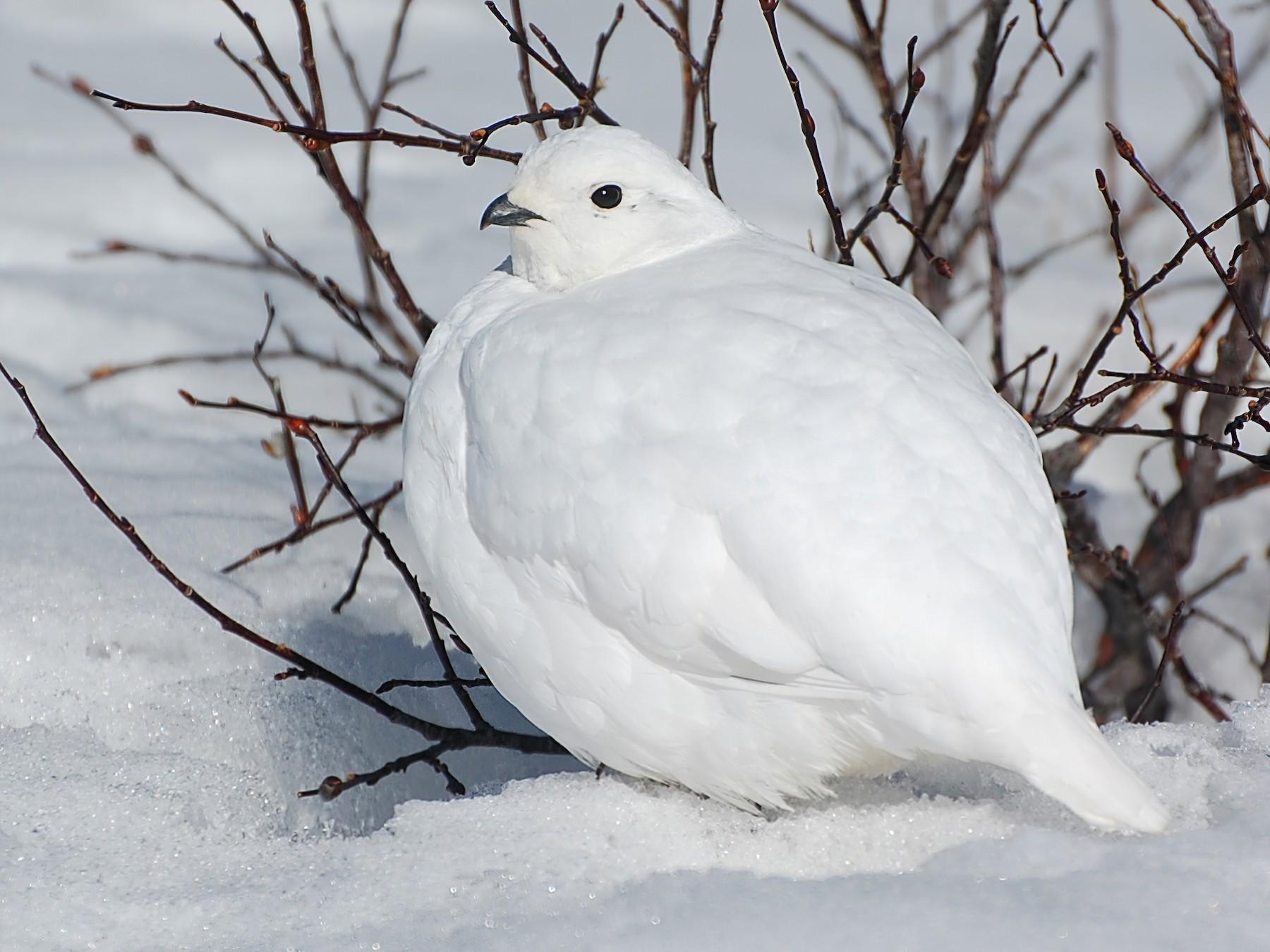 White-tailed Ptarmigan - Timo Mitzen