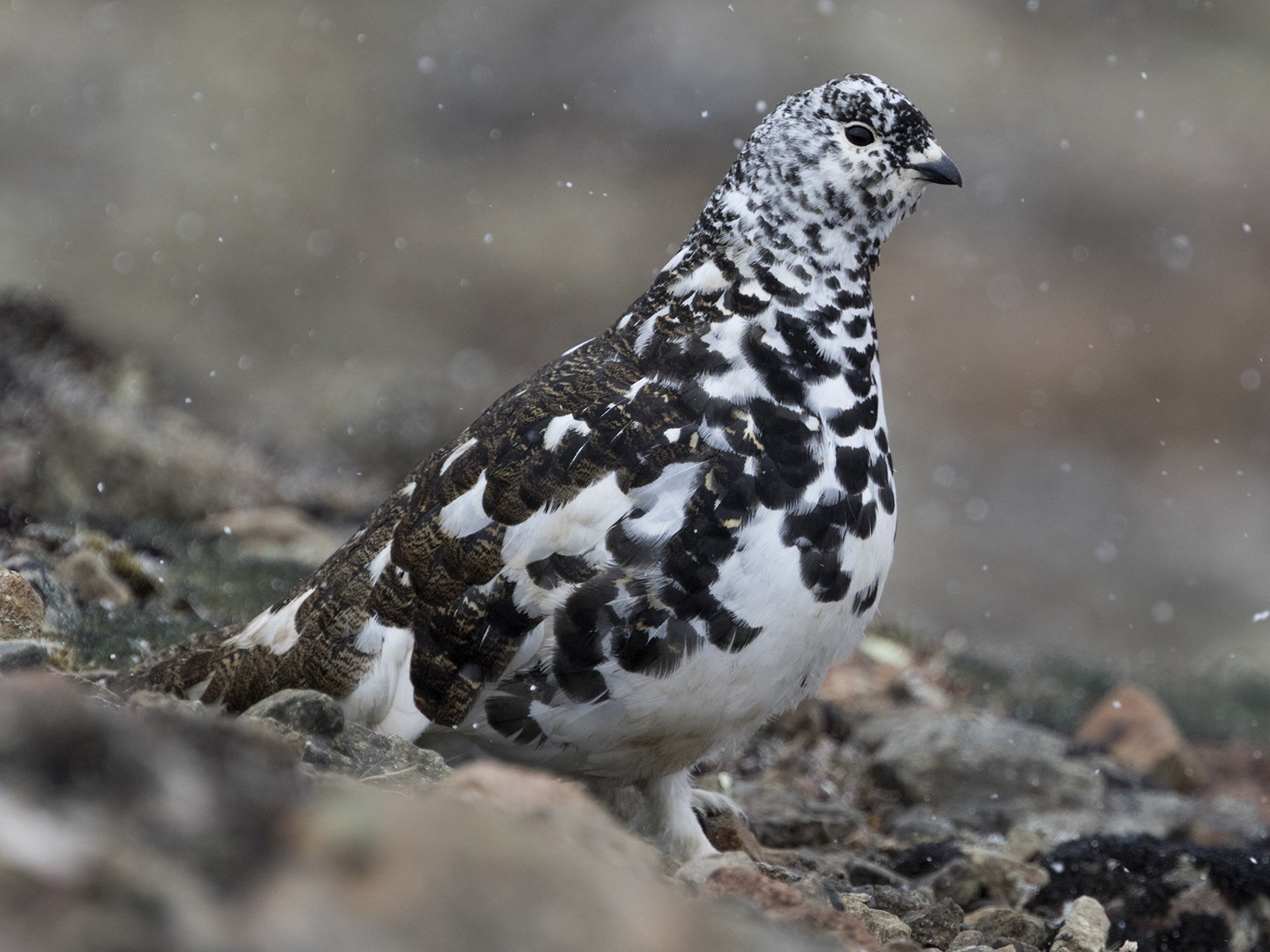 White-tailed Ptarmigan - Zak Pohlen