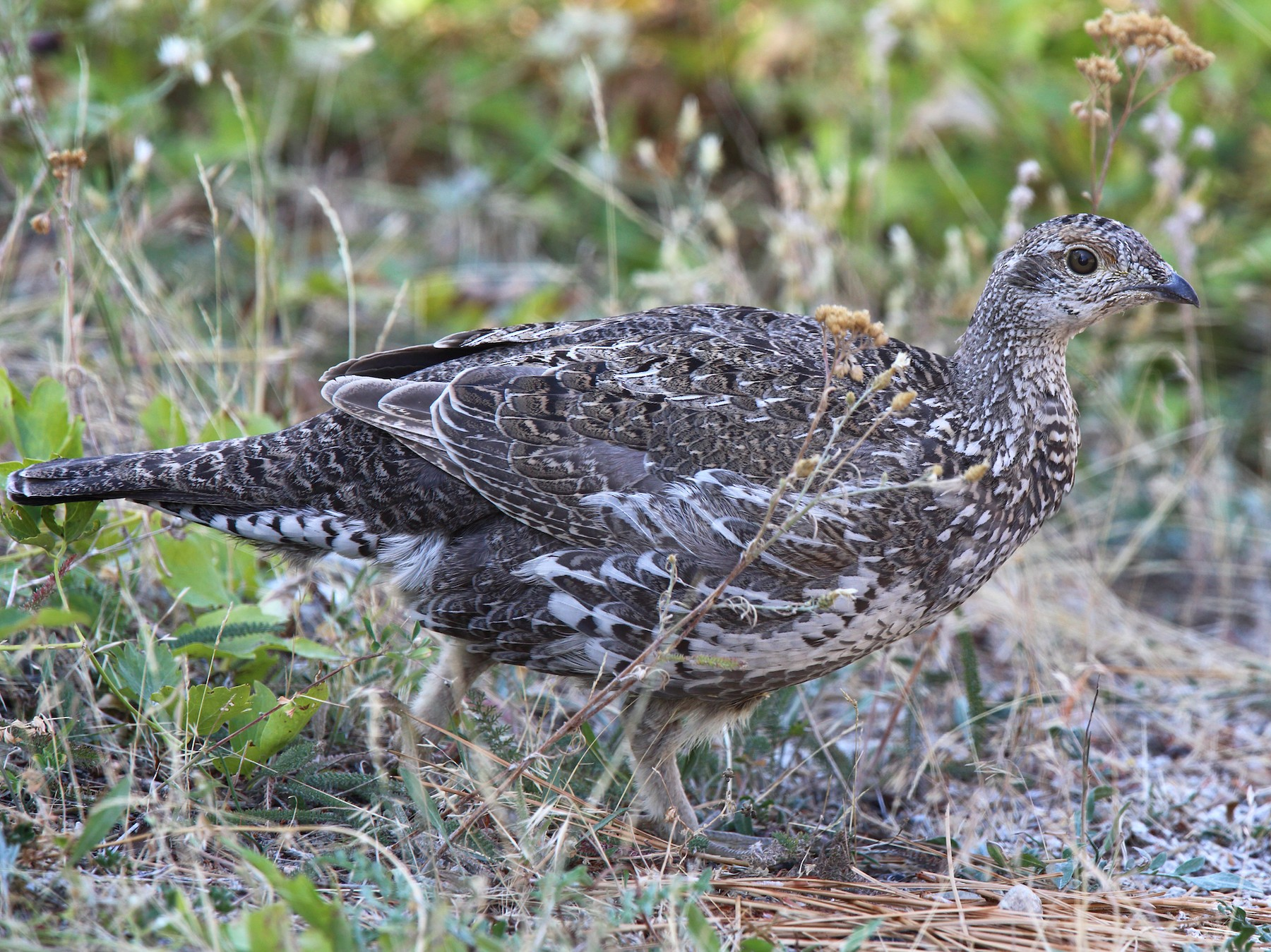 Dusky Grouse - Laure Wilson Neish