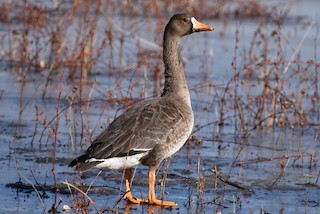 Greater White-fronted Goose, ML295480681