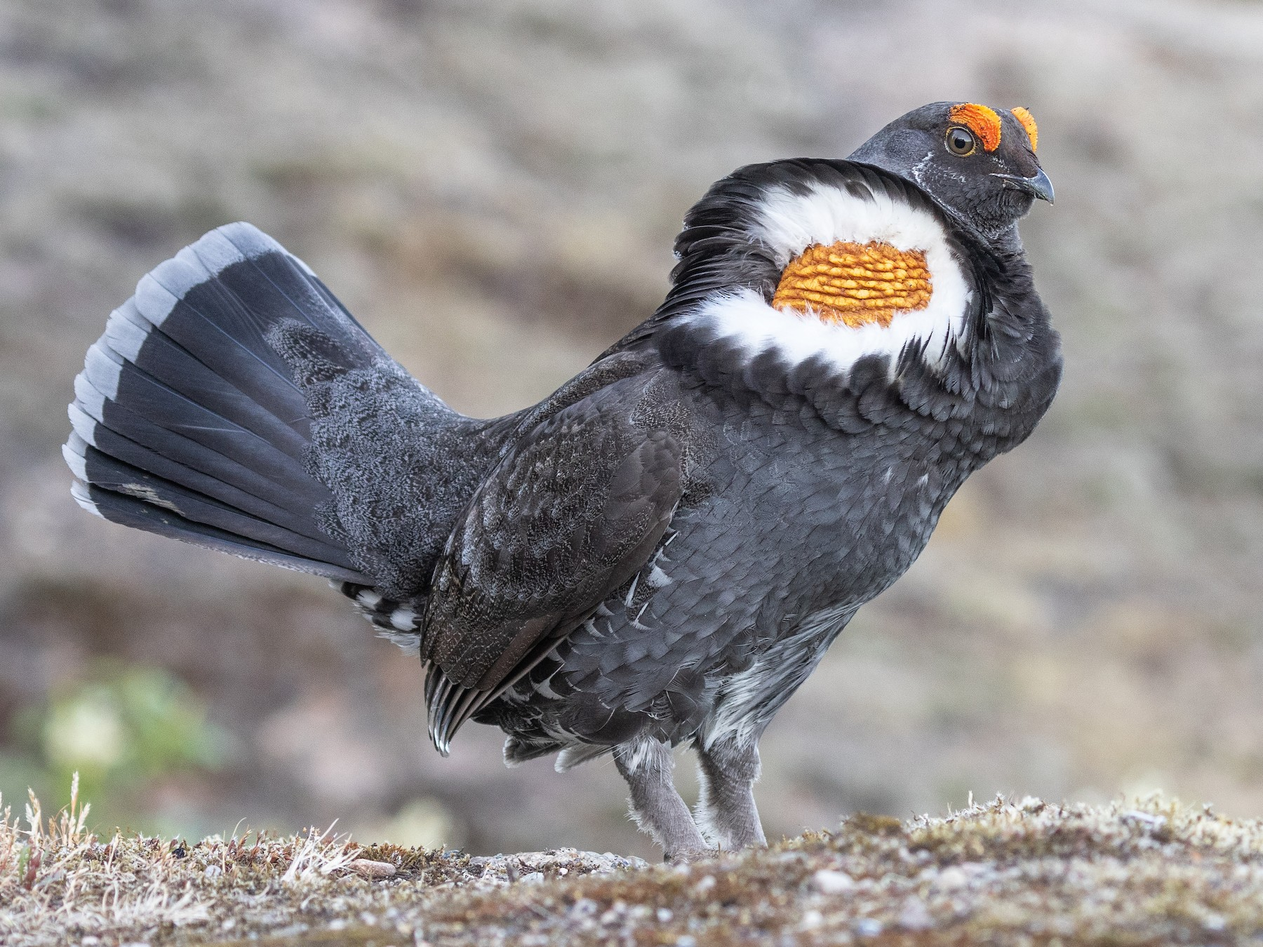 Sooty Grouse - Blair Dudeck