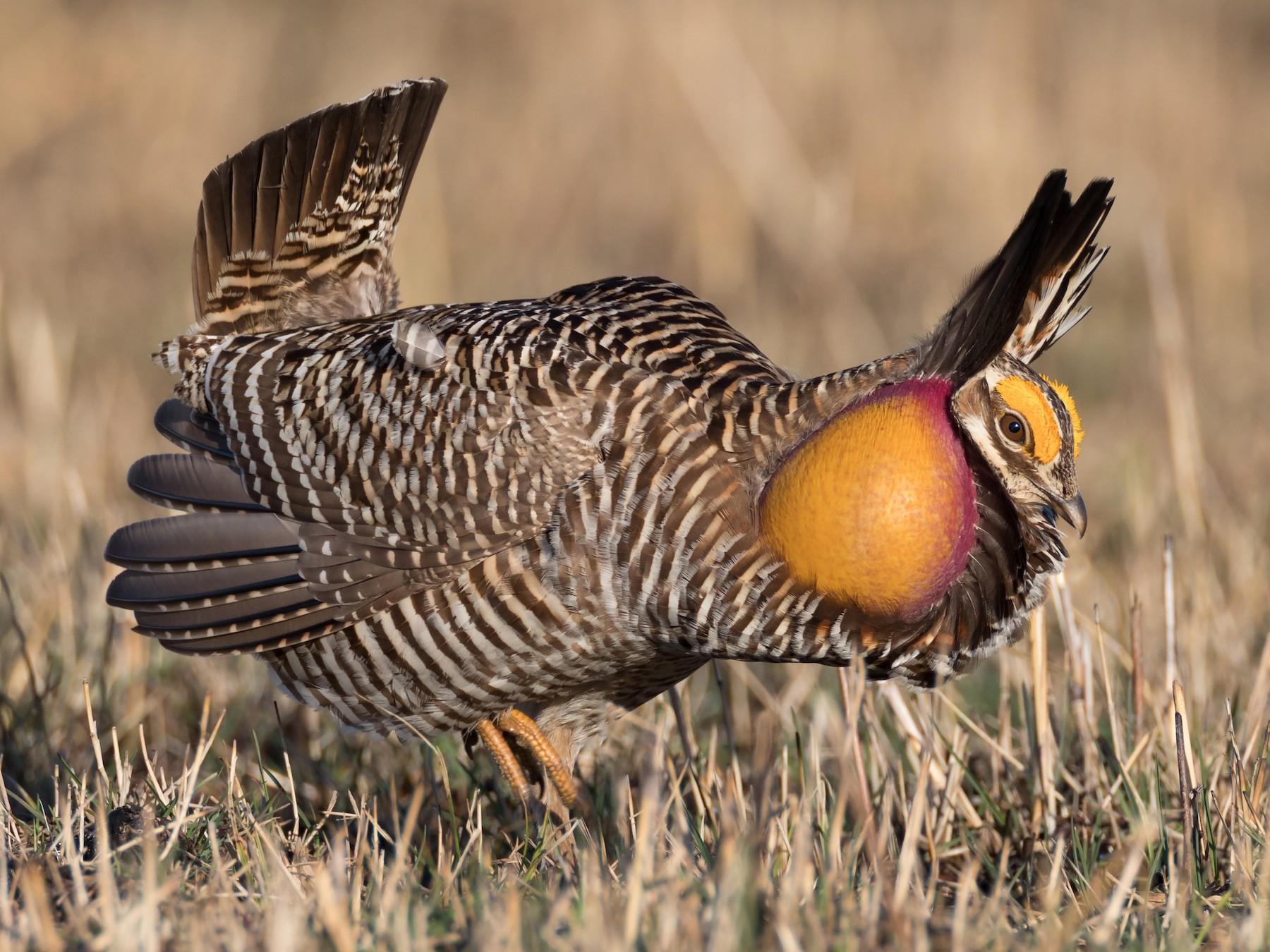Greater Prairie-Chicken - Ryan Sanderson