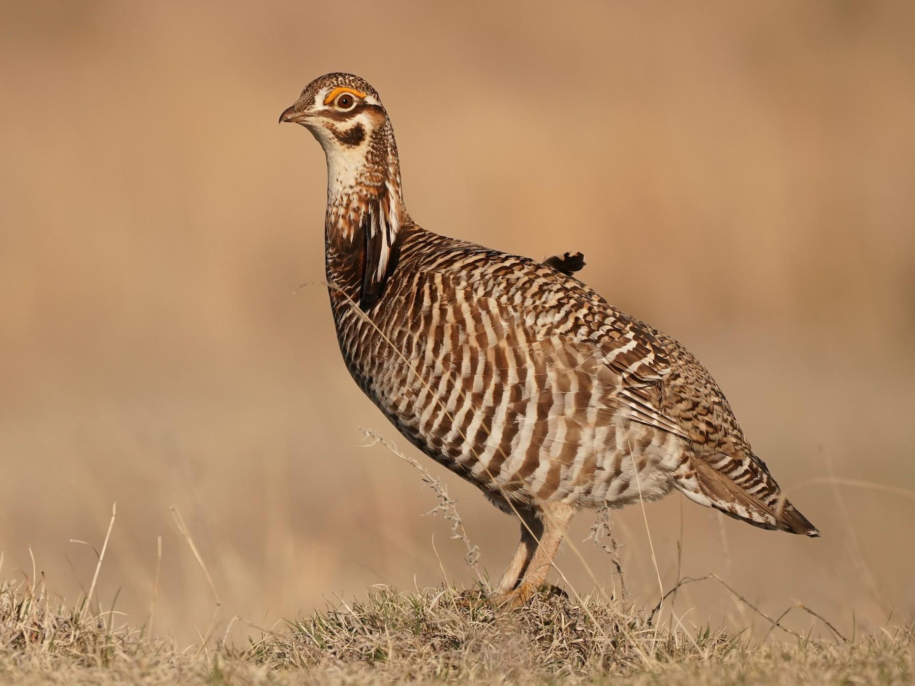 Greater Prairie-Chicken - Christian Hagenlocher