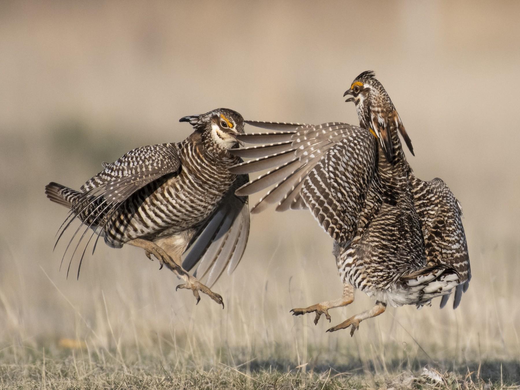 Greater Prairie-Chicken - Bryan Calk