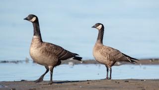 Cackling Goose, ML295568081