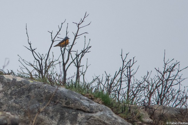 Rufous-tailed Rock-Thrush