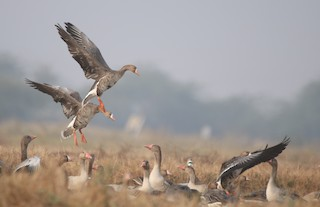 Greater White-fronted Goose, ML295643971