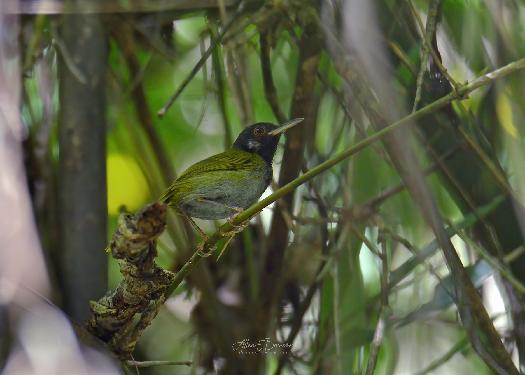 White-eared Tailorbird - Allan Barredo