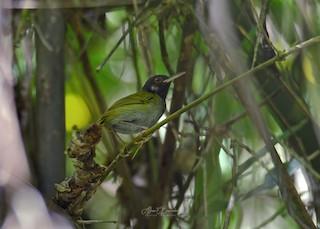 - White-eared Tailorbird