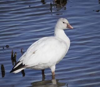Ross's Goose, ML296001201