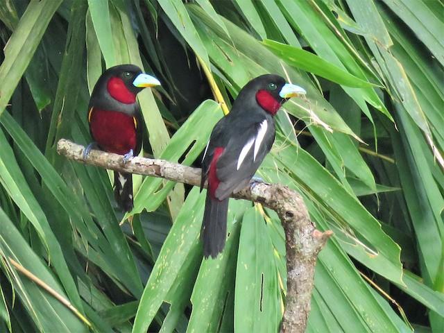 Pair of Black-and-red Broadbills.