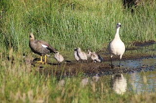 Upland Goose, ML296331751