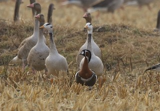 Red-breasted Goose