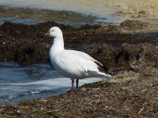 Ross's Goose, ML29639131