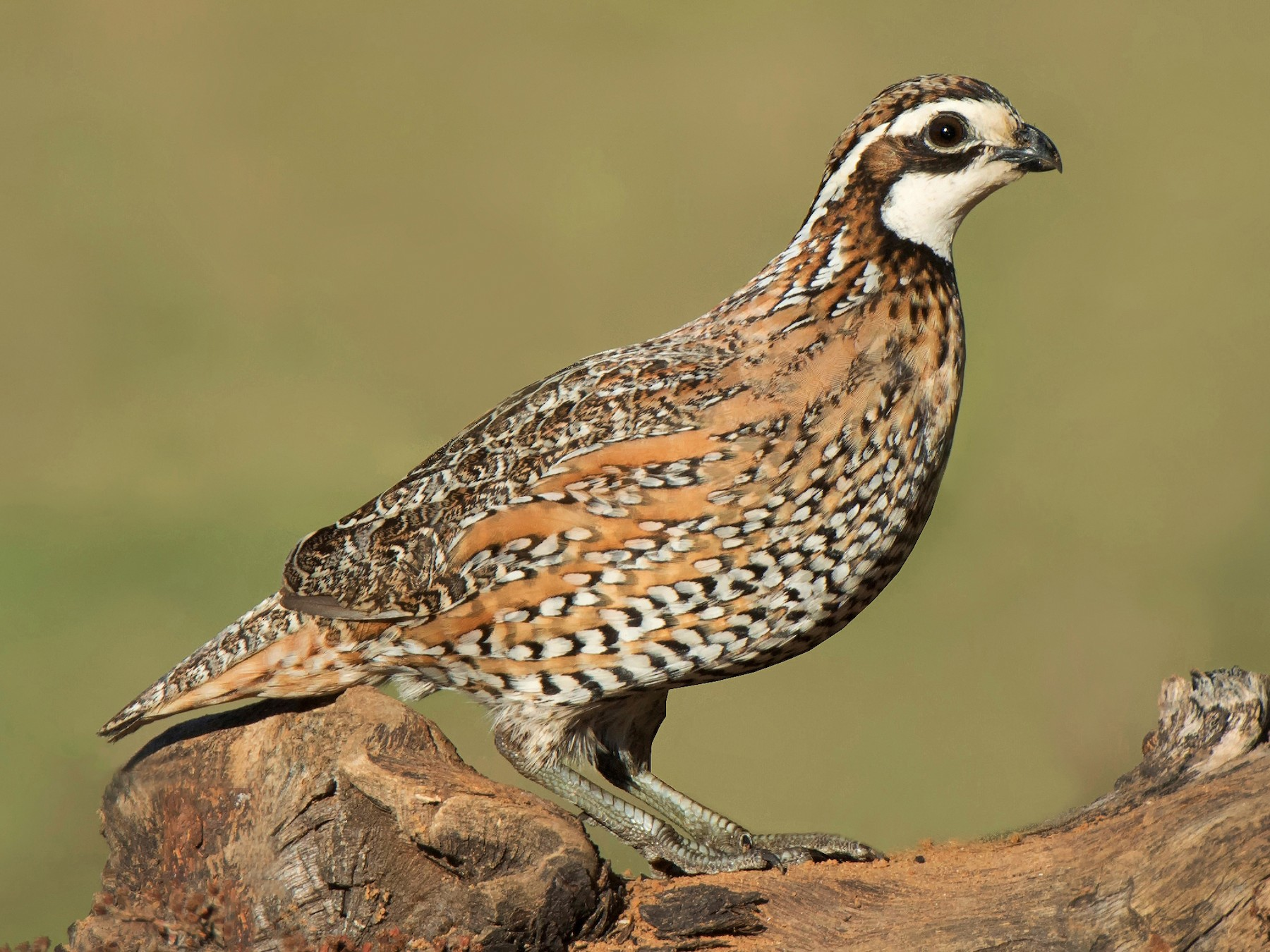 Northern Bobwhite - Jeff Maw