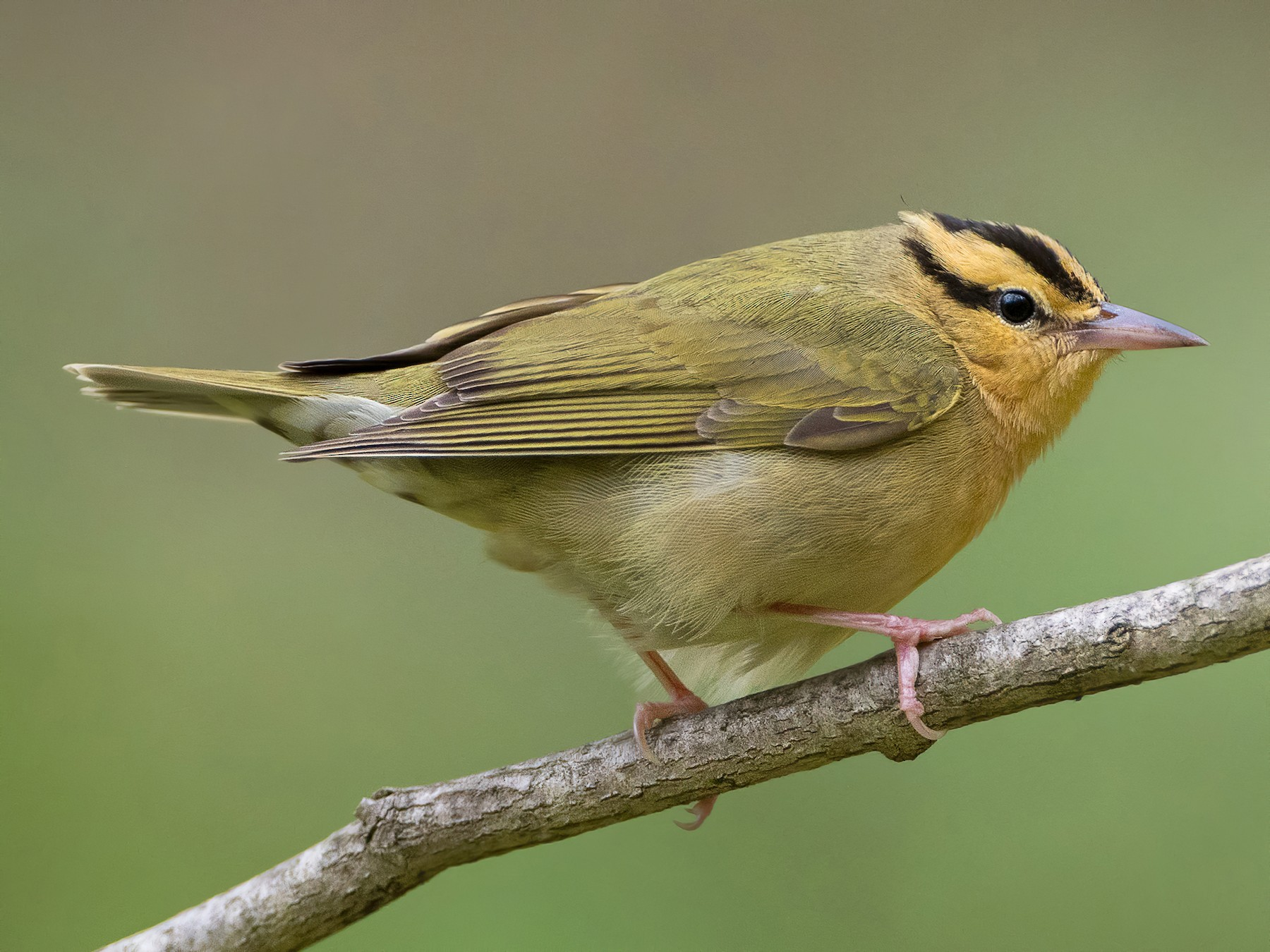 Worm-eating Warbler - Graham Gerdeman