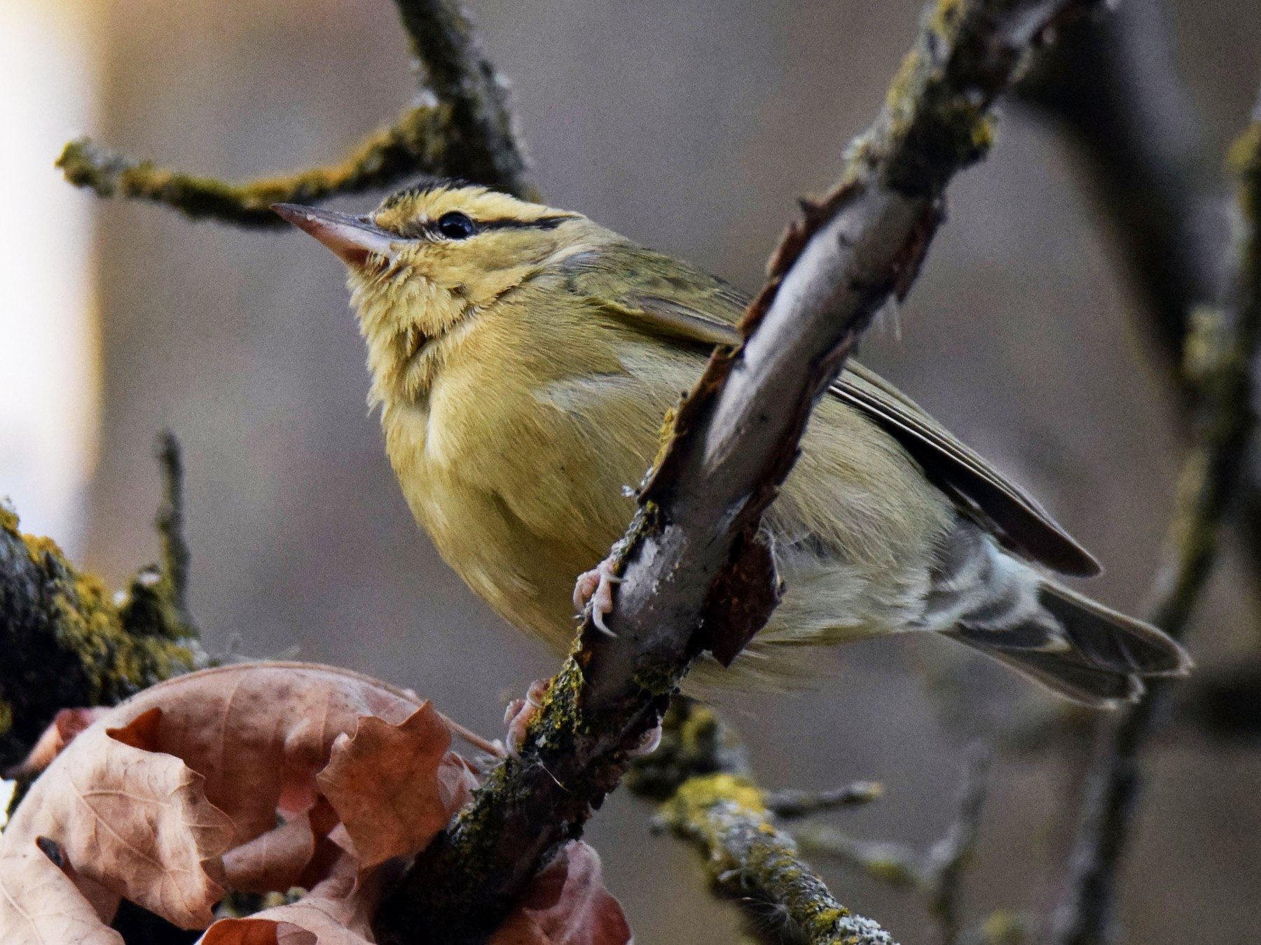 Worm-eating Warbler - Ethan Monk