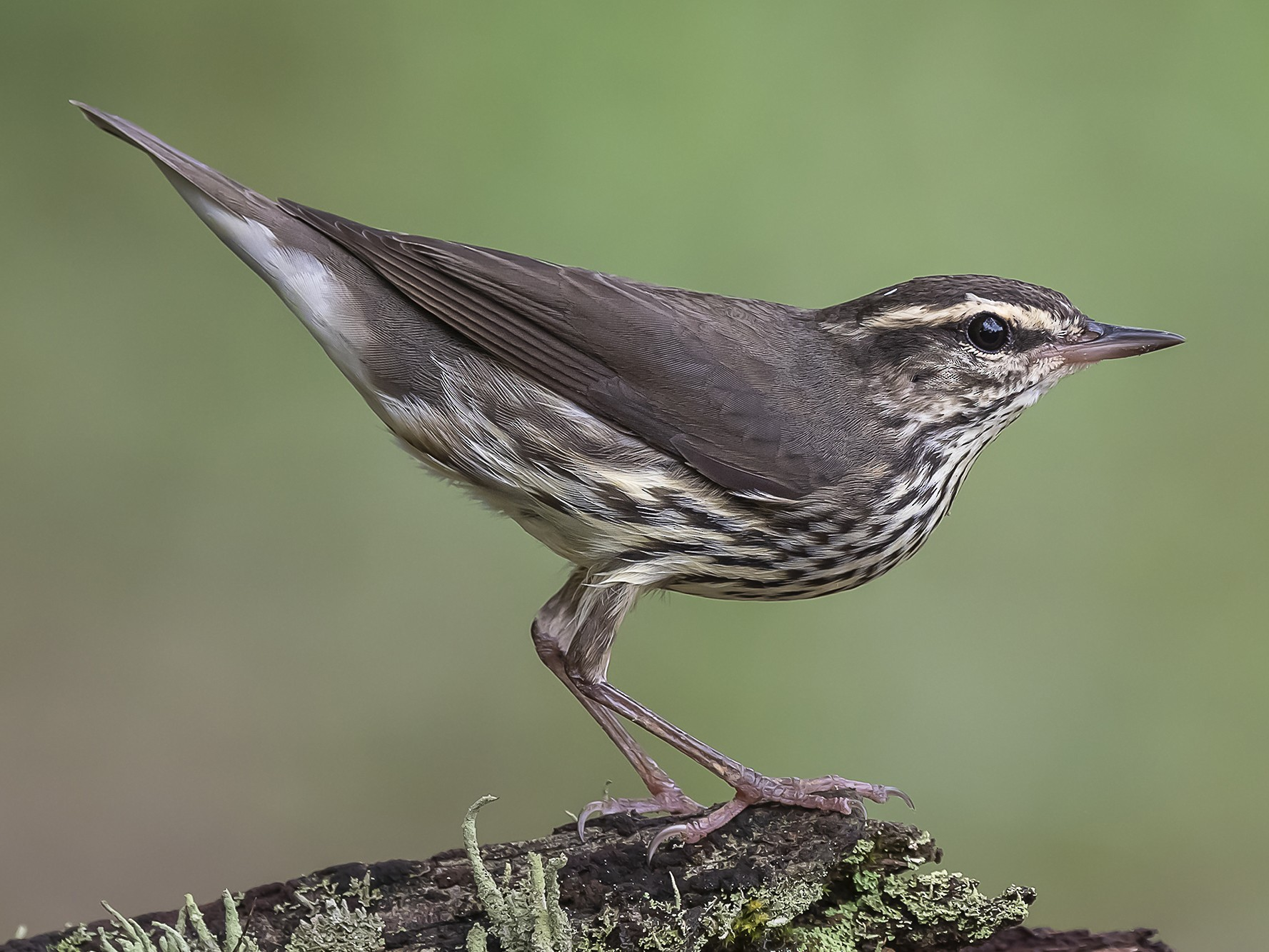 Northern Waterthrush - fernando Burgalin Sequeria