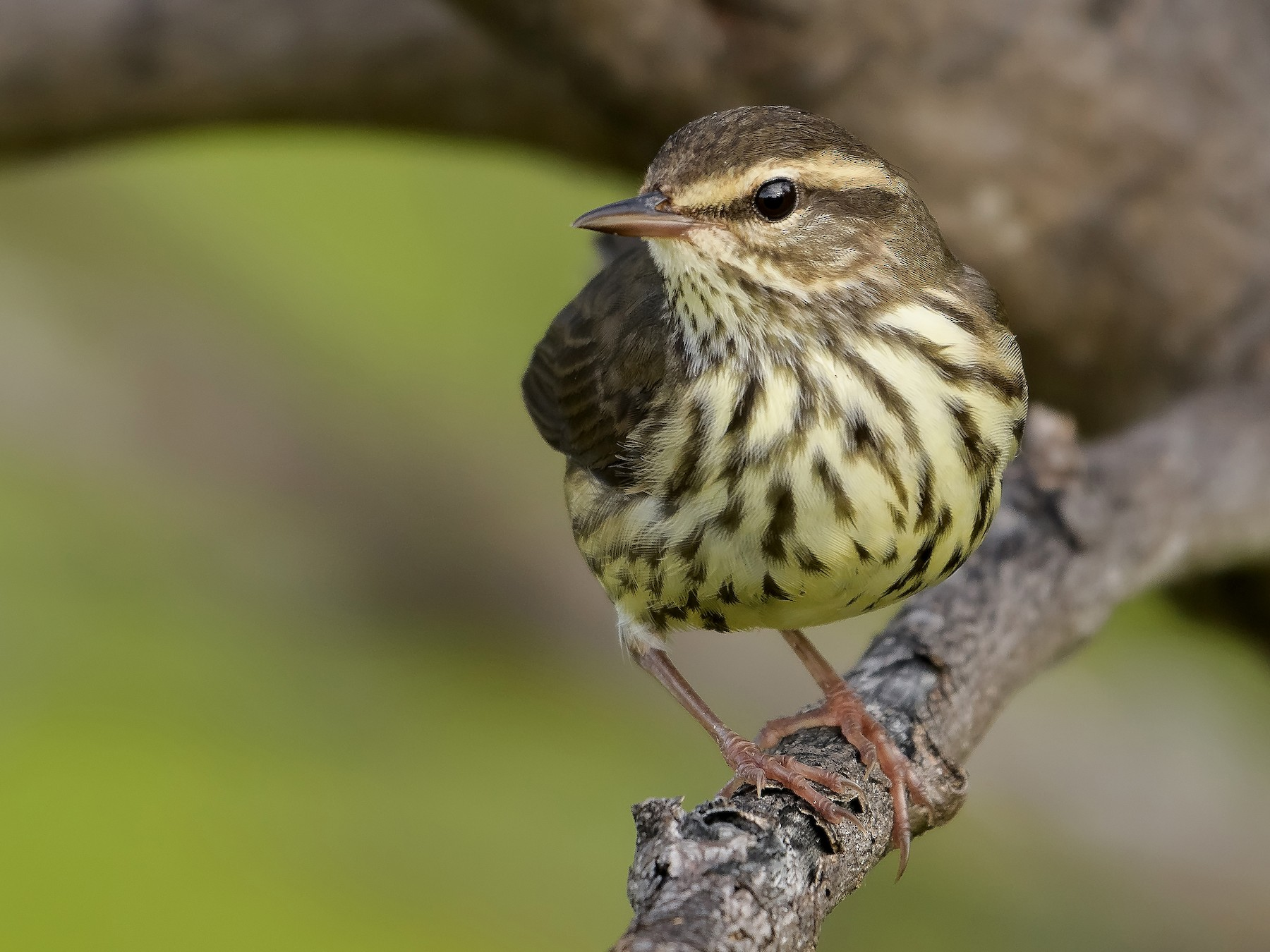 Northern Waterthrush - Benny Diaz