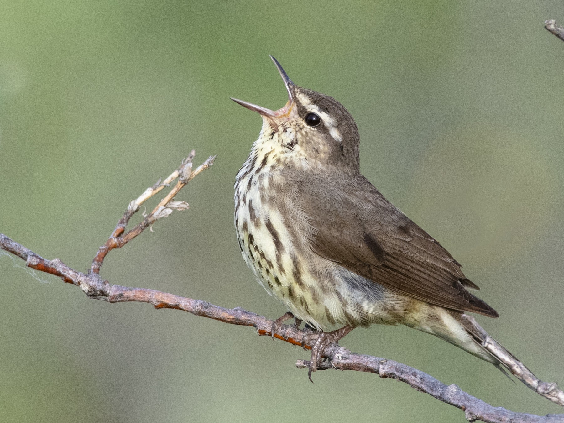 Northern Waterthrush - Bryan Calk