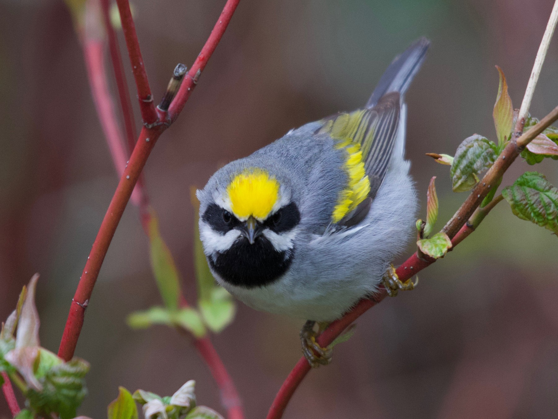 Golden-winged Warbler - Christian  Nunes
