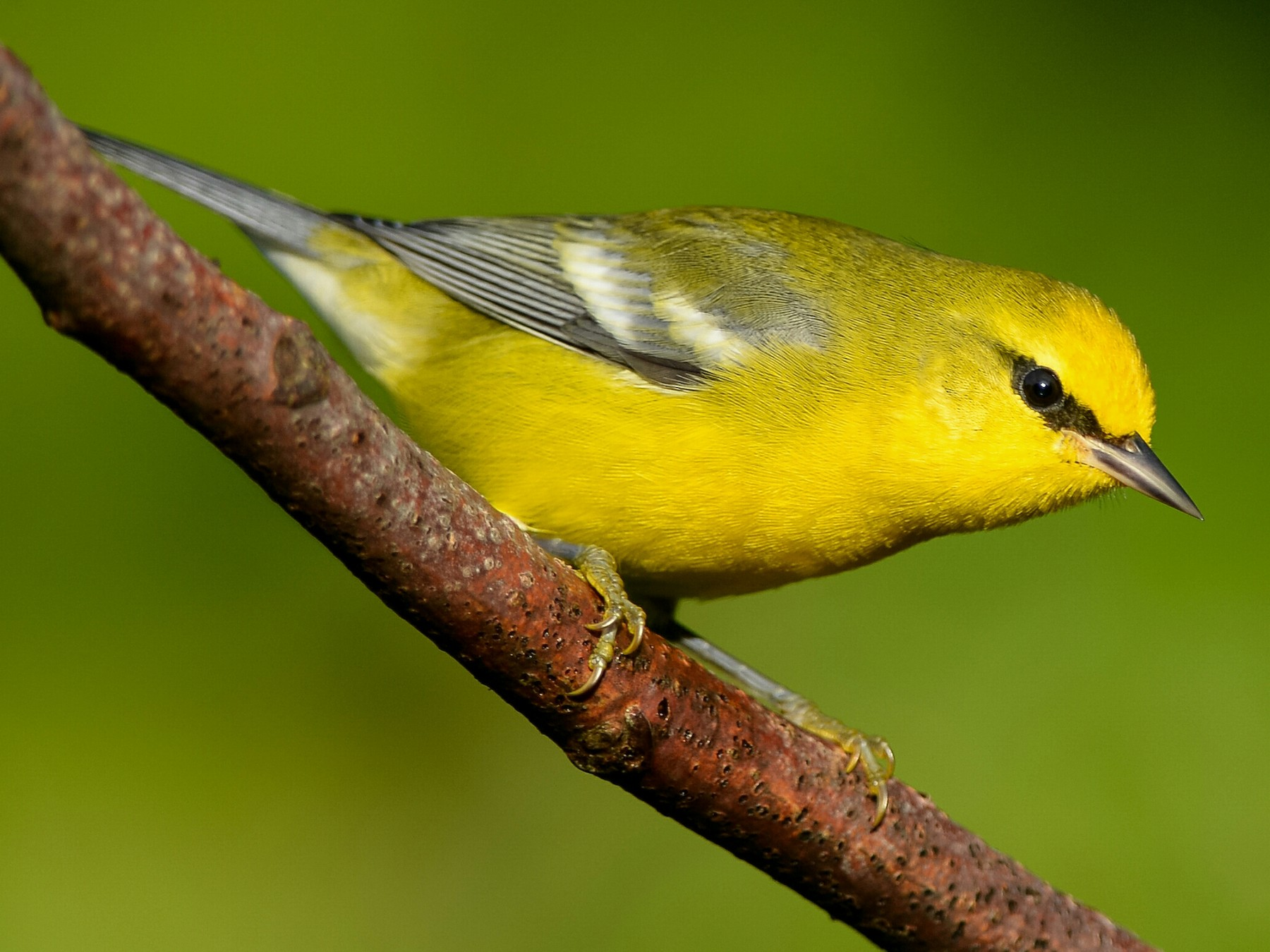 Blue-winged Warbler - Daniel Irons