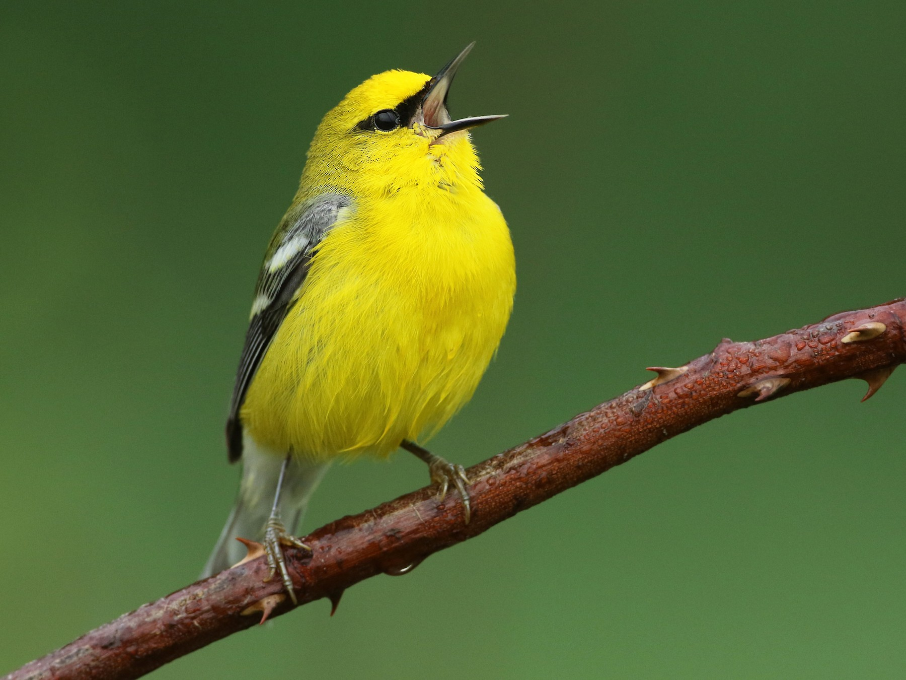 Blue-winged Warbler - Luke Seitz