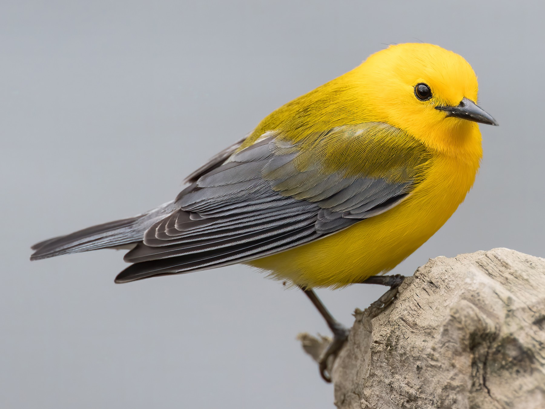 Prothonotary Warbler - Ryan Sanderson