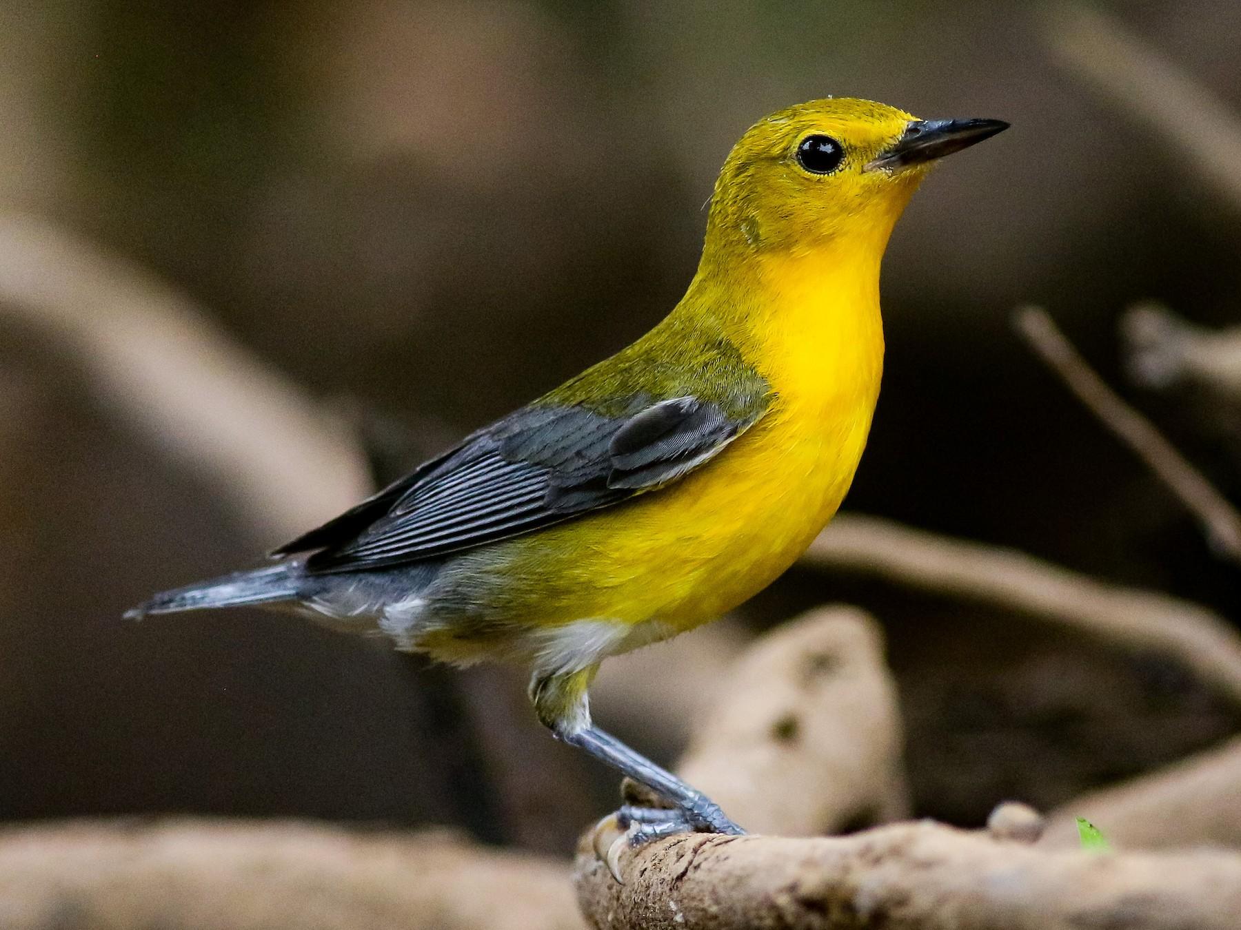 Prothonotary Warbler - Tucker Beamer