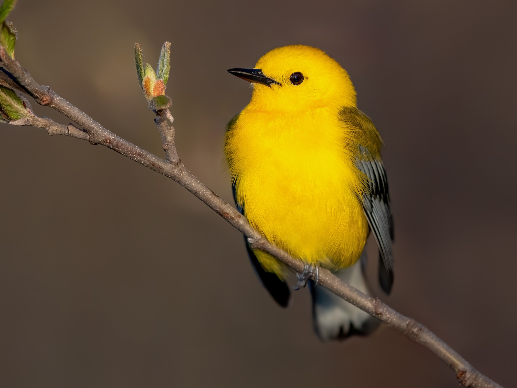 Prothonotary Warbler - Brad Imhoff