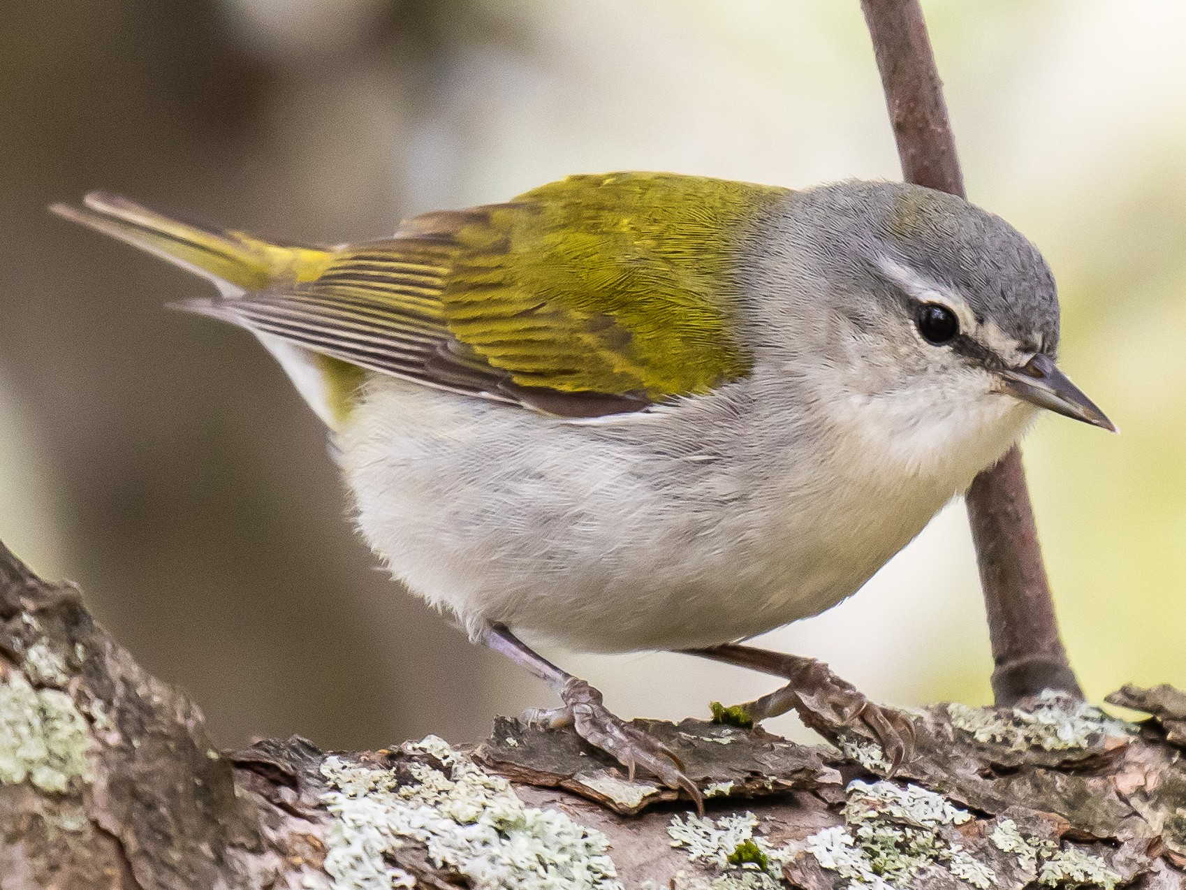 Tennessee Warbler - Chris S. Wood