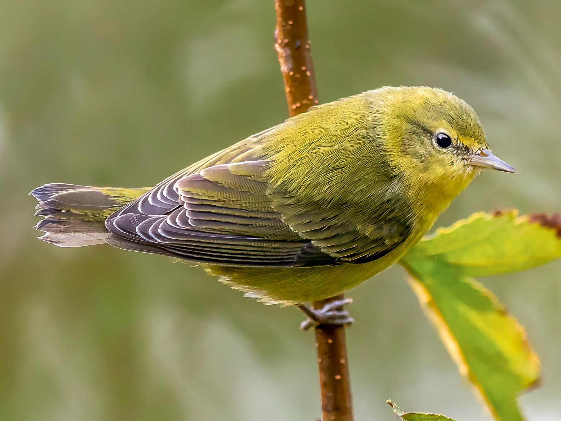 Tennessee Warbler - Brad Imhoff